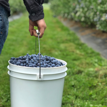 U-Pick Blueberries Open!