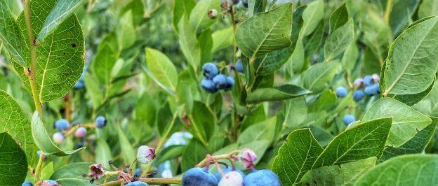 Blueberry U-Pick is open til dusk